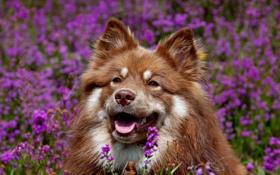 Обои собакак, поле, цветы