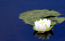 Картинка нимфея, кувшинка, водяная лилия, отражение, вода, лист
