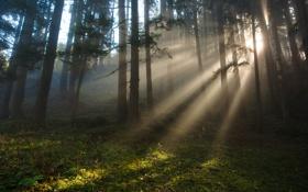 Картинка лес, лучи, свет, природа