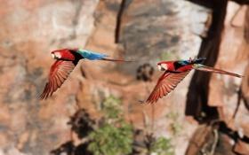 Картинка попугаи, два, в полете, синхронность