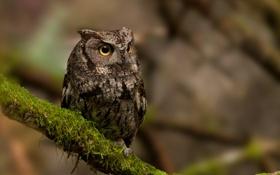 Картинка мох, Owl, природа, птица, сова, ветка