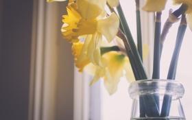 Картинка цветы, желтые, лепестки, нарциссы