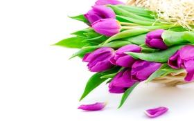 Обои цветы, фиолетовые, тюльпаны