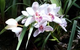 Картинка цветы, орхидеи, белые орхидеи
