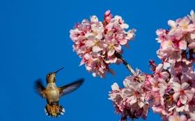 Картинка небо, цветы, дерево, птица, весна, колибри, цветки
