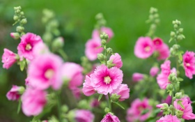 Картинка цветы, розовые, цветение, нежно, листики, мальва