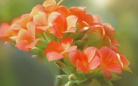 Картинка макро, растение, лепестки, соцветие