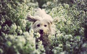 Обои собака, путь, глаза, поле, цветы