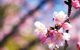 Картинка свет, деревья, цветы, природа, вишня, ветка, весна