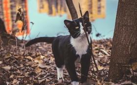 Обои кот, котяра, кошак, прогулка