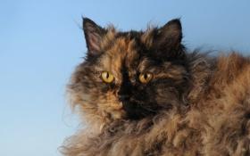 Картинка Кошка, черепаховая, селкирк-рекс