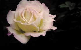 Обои цветок, капли, макро, роса, темно, роза, нежная