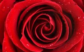 Картинка капли, роса, роза, лепестки