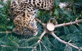 Обои кошка, котенок, ель, амурский леопард