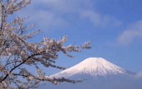Картинка снег, цветы, вишня, дерево, гора, вершина