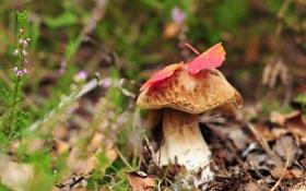 Картинка природа, гриб, осень
