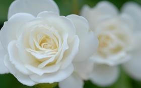 Обои роза, цветок, белая, лепестки, макро, бутон