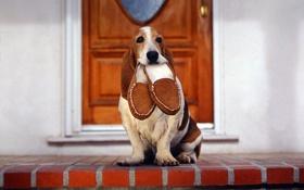 Обои друг, собака, дверь, уши, порог, тапочки, верный