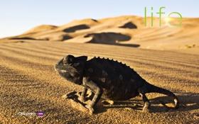 Обои звери, пусстыня, Хамелион