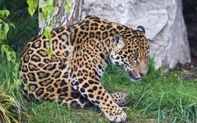 Картинка кошка, трава, ягуар, ©Tambako The Jaguar