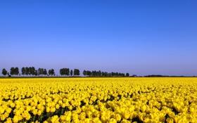 Картинка поле, лето, тюльпаны