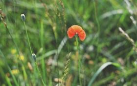 Обои цветок, мак, лепестки, красный