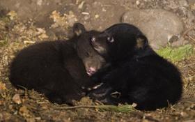 Картинка двое, медвежата, лежат, бурые