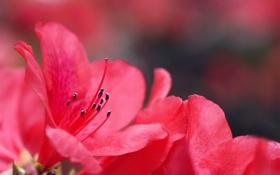 Обои цветы, розовая, размытость, Azalea, Азалия
