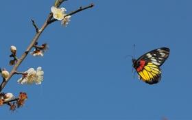 Обои небо, фруктовое, бабочка, крылья, ветка, дерево, цветы