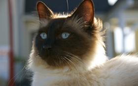 Картинка глаза, кот, взгляд, кошак, котяра