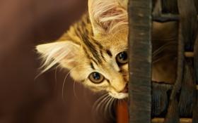 Картинка кошка, морда, котенок, мордочка, выглядывает