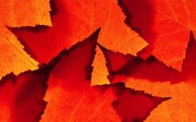 Обои осень, листья, природа, лист, цвет, клен, багрянец