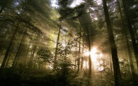 Обои лес, лучи, свет, природа, утро