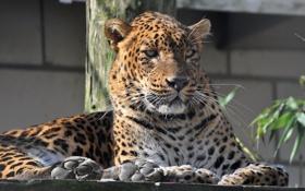 Обои усы, морда, хищник, леопард, leopard, зоопарк, panthera pardus