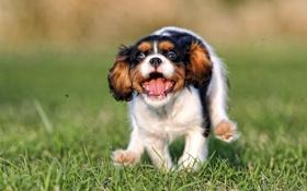 Обои щенок, бег, собака