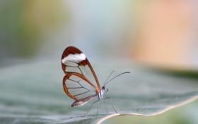 Обои бабочка, метелик, прозрачность