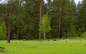Обои лес, зеленый, береза, сосна, донецкая область