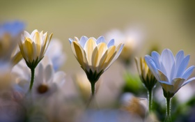 Картинка хризантемы, белые, боке, макро, цветы