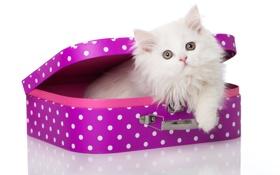 Обои кошка, белый, пушистый, чемодан, котёнок