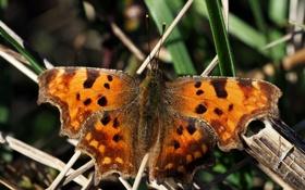 Картинка фон, бабочка, размытость, Толстоголовка-запятая, Hesperia comma