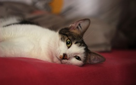 Обои глаза, кот, взгляд, коте