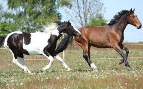 Обои трава, кони, лошади, пара
