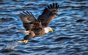 Картинка полет, брызги, рыбалка, крылья, рыба, хищник, добыча