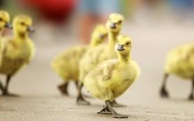 Картинка птицы, природа, гуси