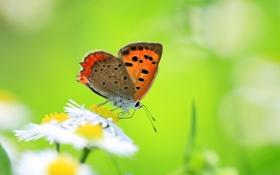 Картинка зелень, цветок, лето, природа, бабочка, поляна, цвет