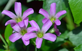 Обои природа, листья, растение, лепестки, цветы