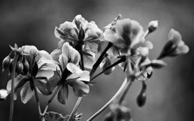 Обои цветы, природа, чёрно-белое, растения, лепестки, стебли. листья