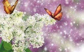 Обои бабочки, ветка, белая, сирень