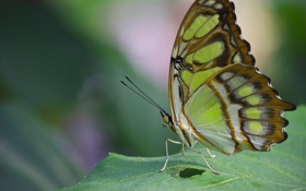 Обои Малахитовая бабочка, лист, макро