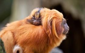 Картинка обезьяна, обезьяны, золотой, детеныш, тамарин